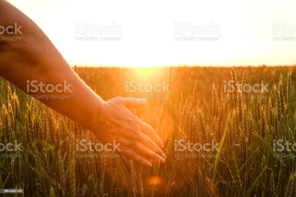 Dicht omhoog van vrouw hand aanraken van graan spica, groene tarwe oor op grote teelt veld zacht oranje licht, heldere avondrood, horizon, sunbeam filter, schittering effect. Achtergrond, kopie ruimte, bovenaanzicht. - Royalty-free Buiten de steden gelegen gebied Stockfoto