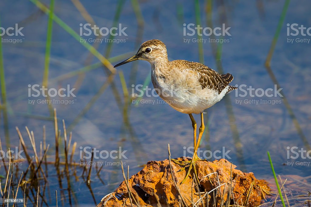 Close up of Wood sandpiper stock photo