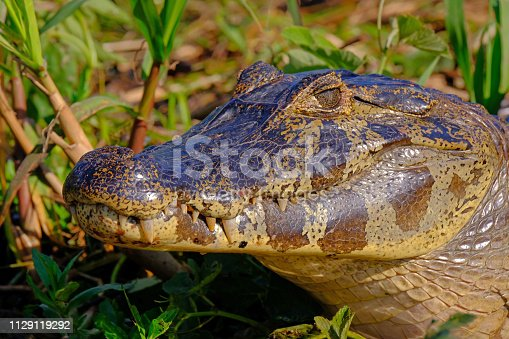 istock Close up of Yacare Caiman, Caiman Crocodilus Yacare Jacare, in the grassland, Pantanal, Porto Jofre, Mato Grosso, Brazil 1129119292