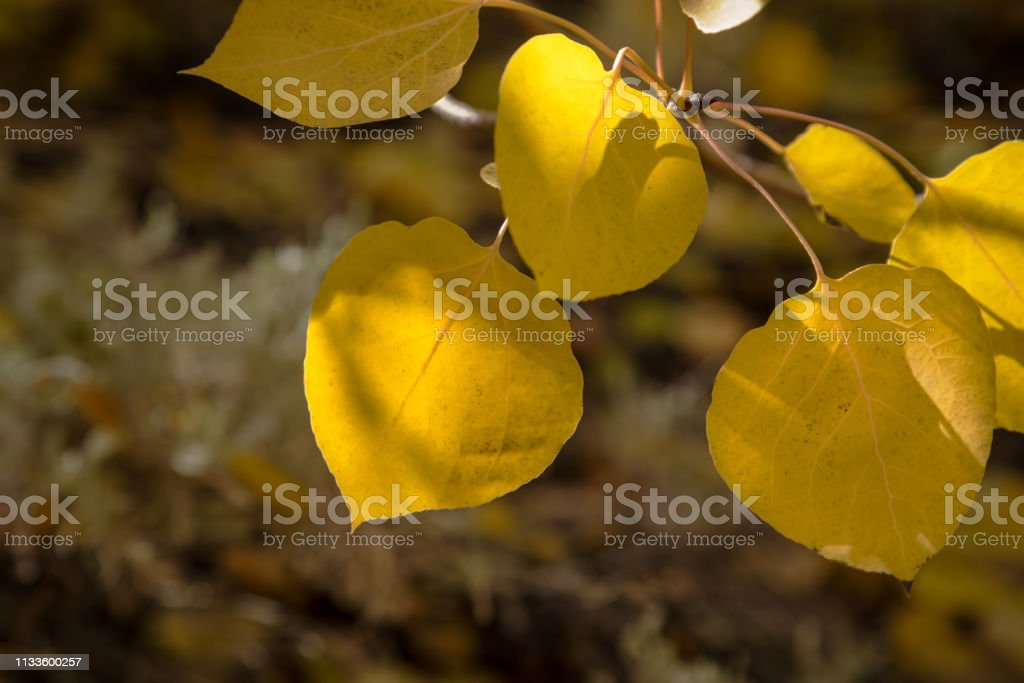Close up of yellow autumn leaves stock photo