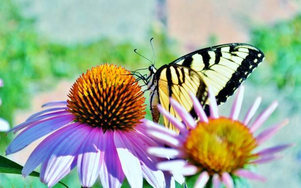 Close up of yellow butterfly on cone flower picture id944946870?b=1&k=6&m=944946870&s=612x612&w=0&h=mpji622obojju0o9wgnee0jrgsjkxmydnhfbqxntpei=