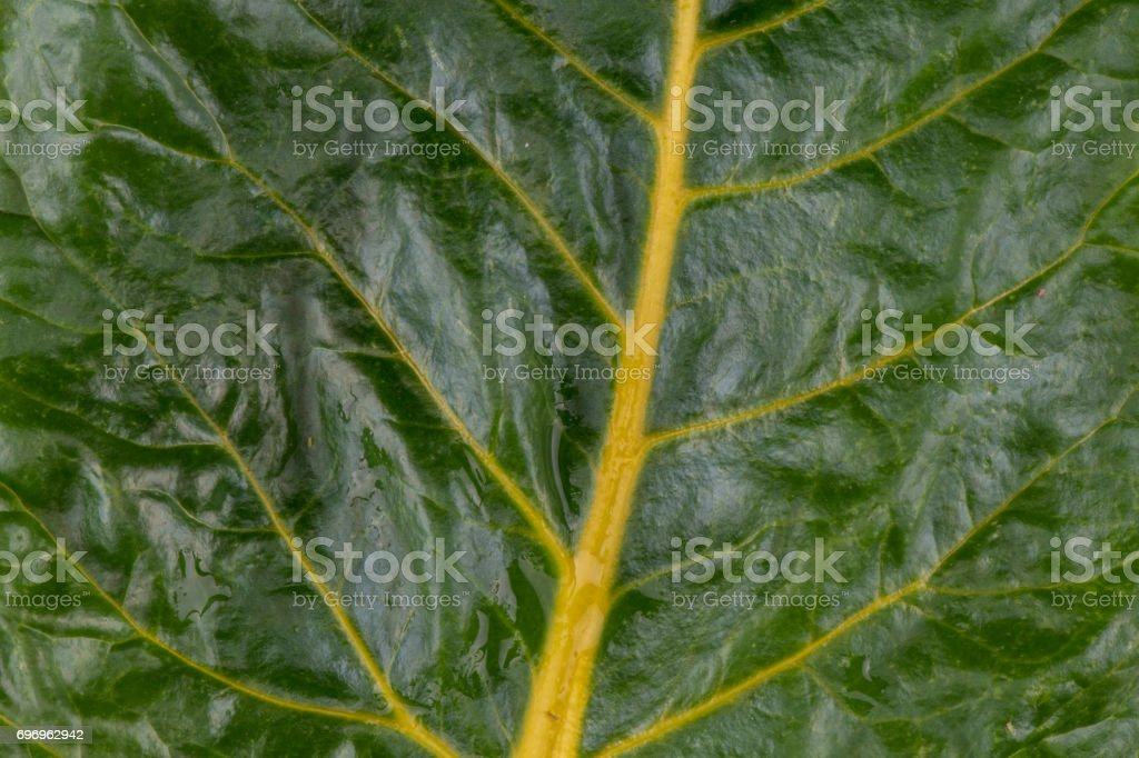 Close Up of Yellow Rainbow Chard Leaf Fills Frame stock photo