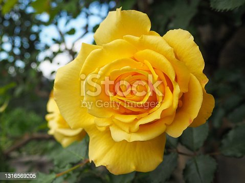 Retrato de una preciosa rosa amarilla con sus petalos perfectos