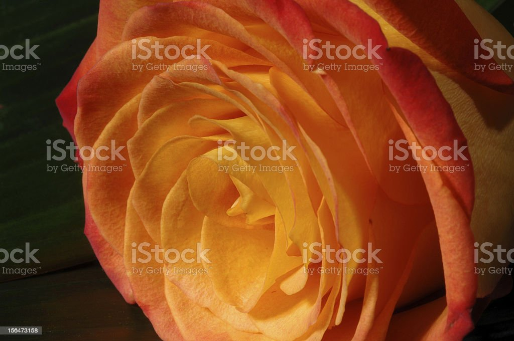 close up of yellow rose royalty-free stock photo
