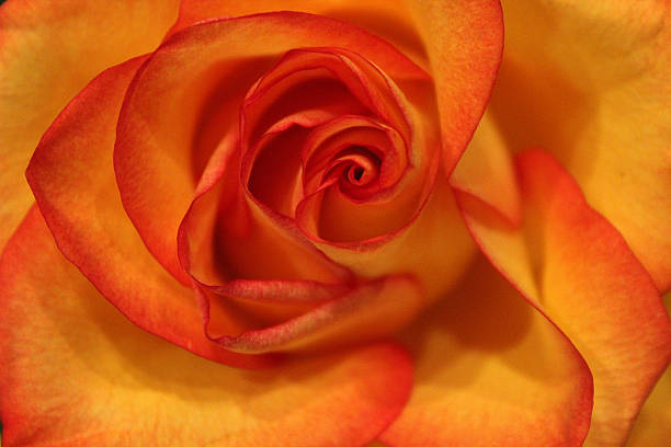 close up of yellow rose with orange outline - pam schodt stock photos and pictures
