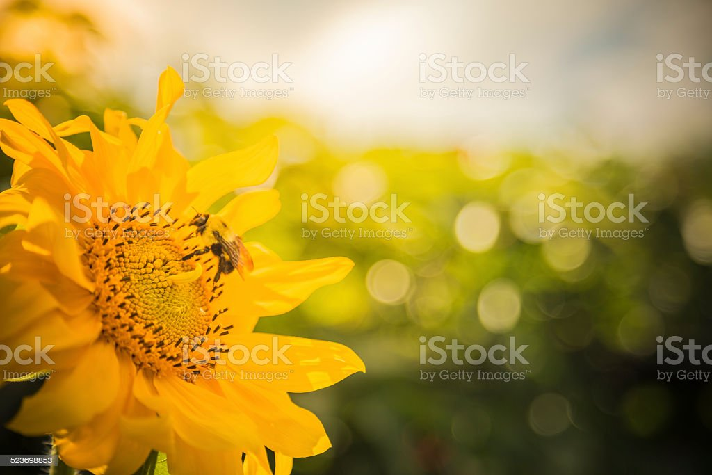 Close up of yellow sunflower with bumblebee stock photo