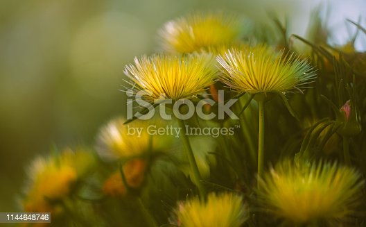 Beautiful Yellow Wild Flowers Close Up. Hardy Yellow Ice Plant in Blossom, California Springtime