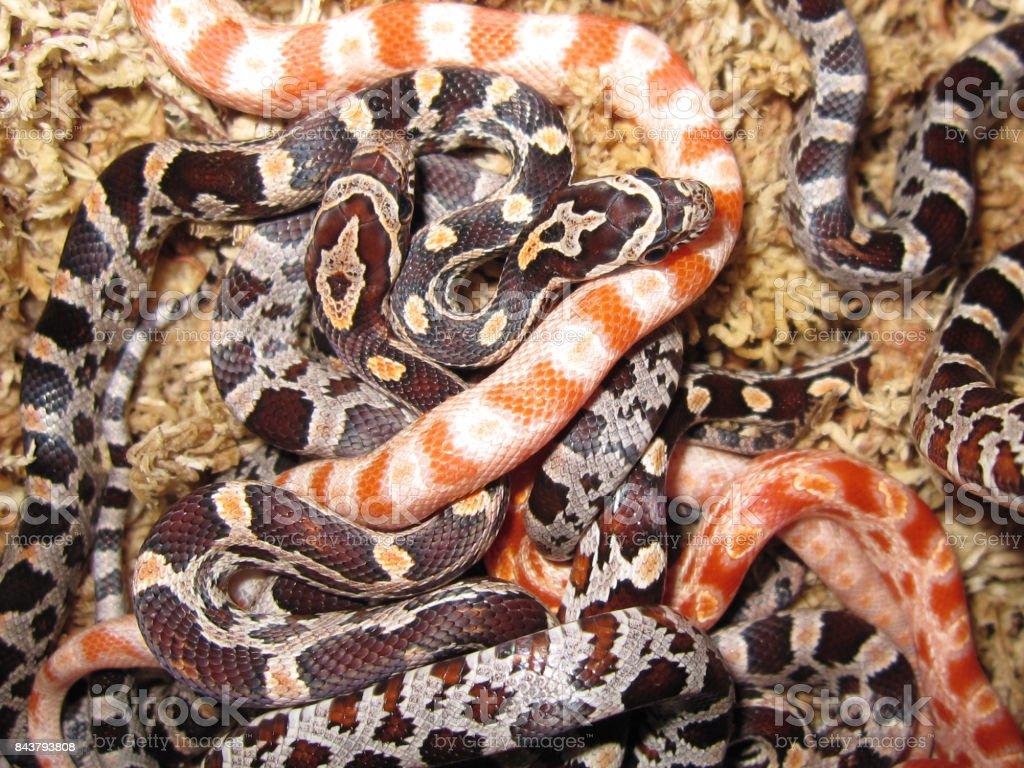 Close Up Of Young Newborn Corn Snakes Pantherophis Guttatus Stock ...
