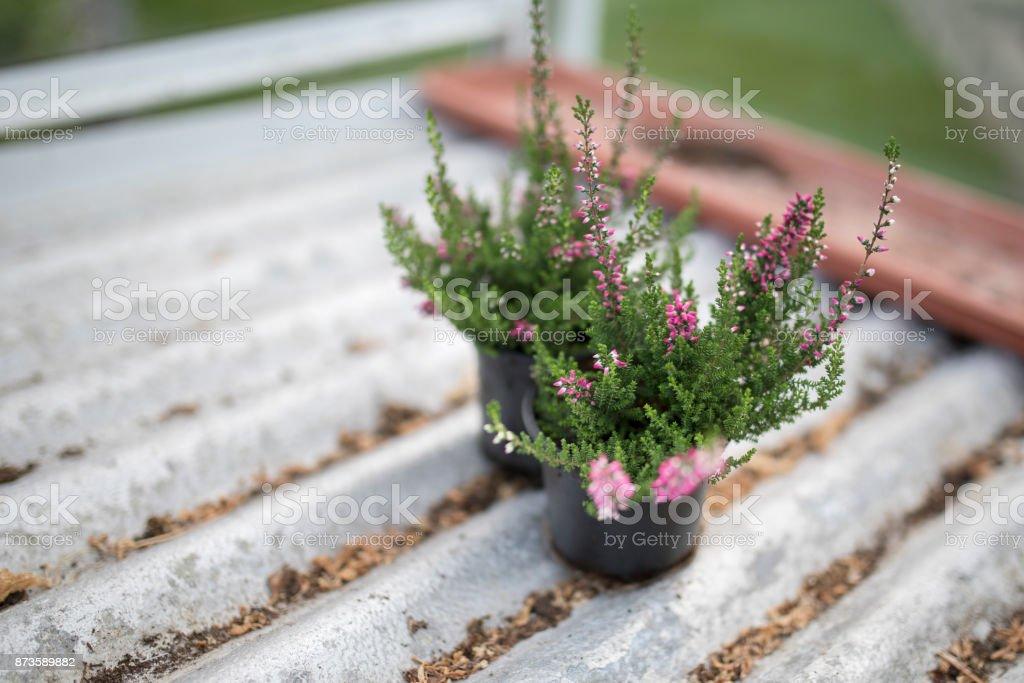 Close up of young pink heathers on silver corrugated shelving in black plant pots in a green house or potting shed in England, UK stock photo