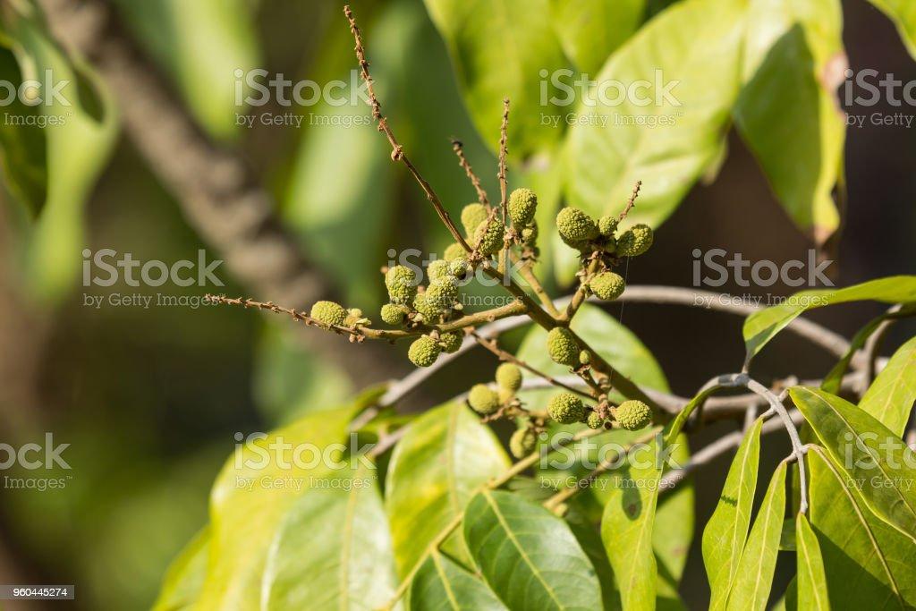 Close up of Young Small longan fruit stock photo