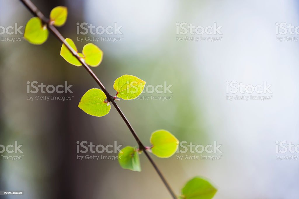 Close Up of Young Spring Leaves stock photo