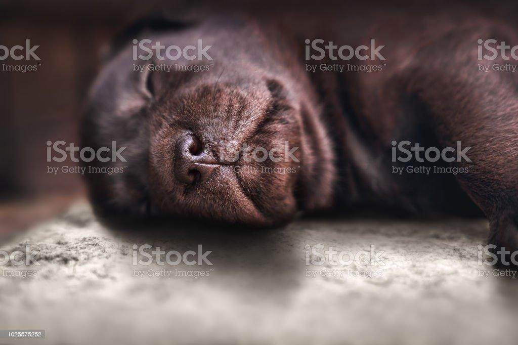 Nahaufnahme eines jungen müde braune reinrassige Labrador Retriever Hund Welpen Pet auf Boden schlafend – Foto