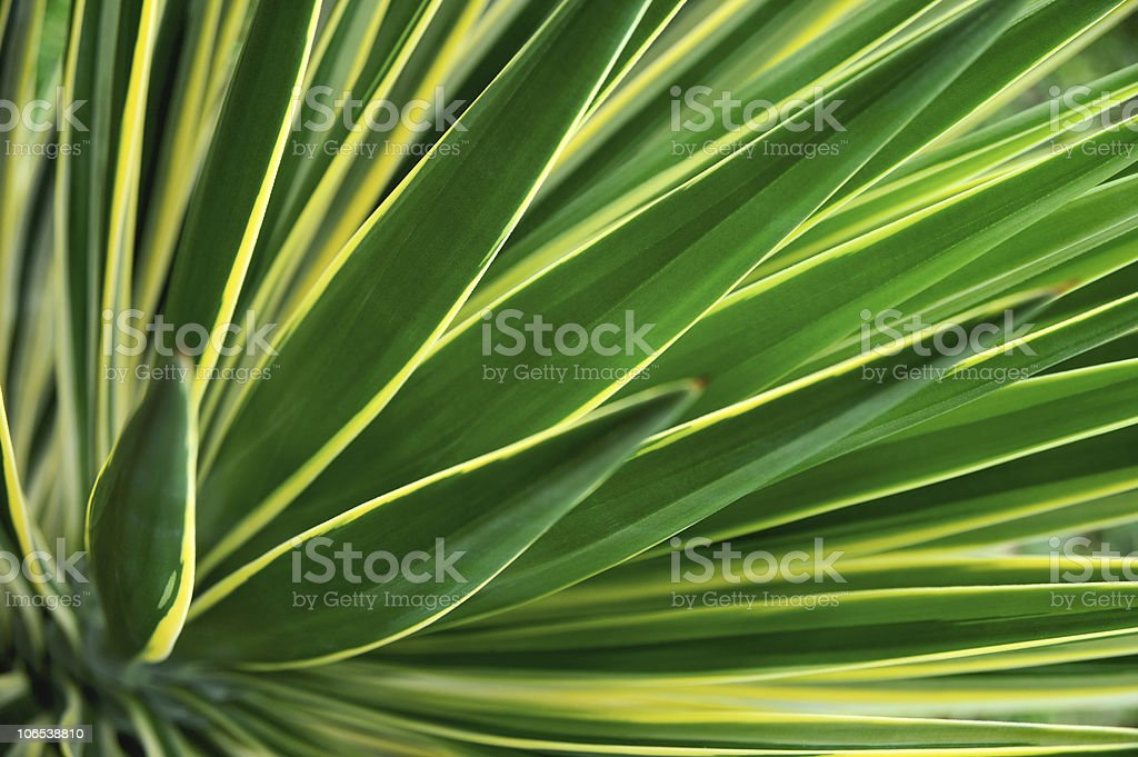 Close up of Yucca royalty-free stock photo