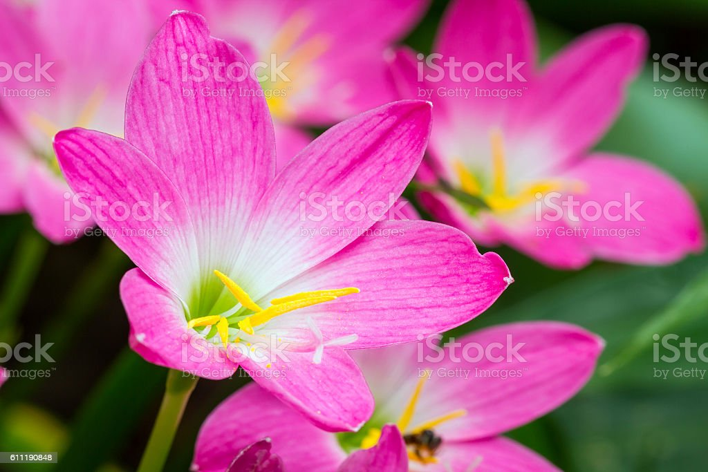Close up of Zephyranthes lily stock photo