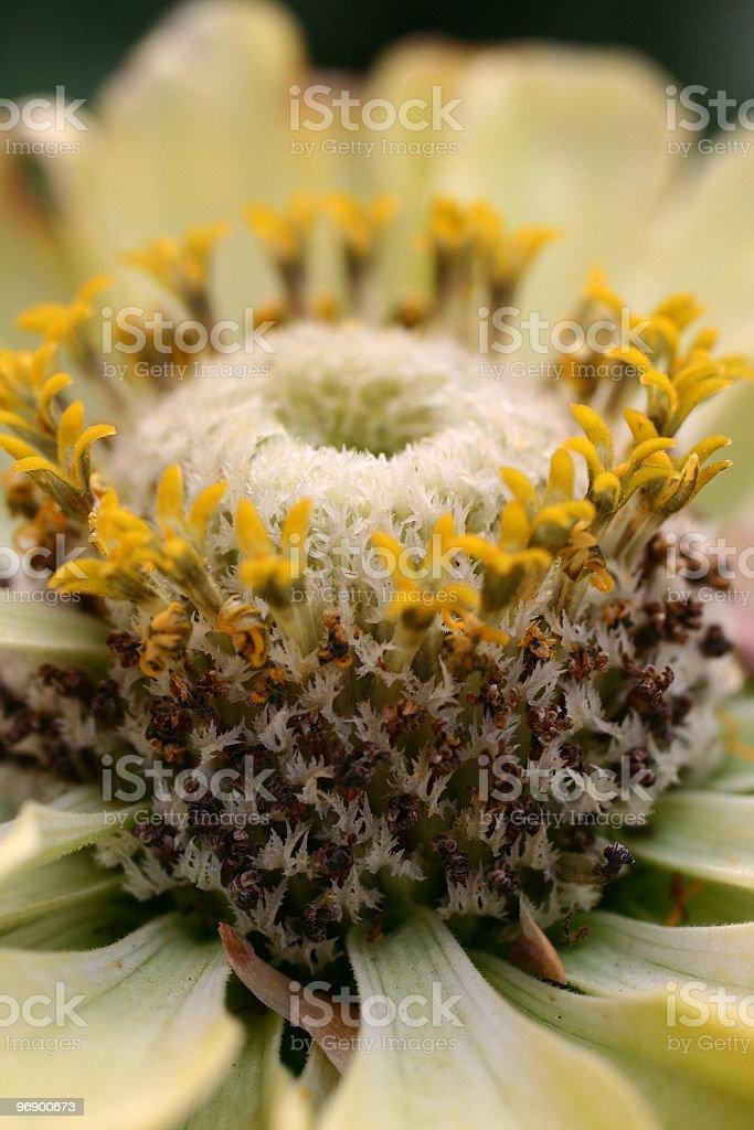 Close up of Zinnia flower royalty-free stock photo