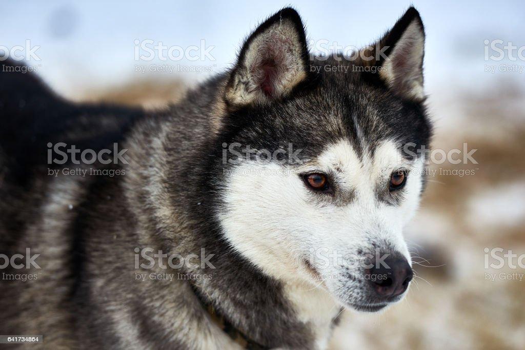 Close up on  a beautiful husky dog. stock photo