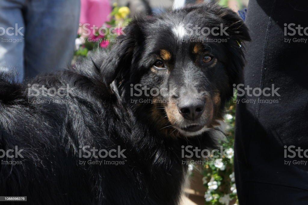 Close up on a black dog stock photo
