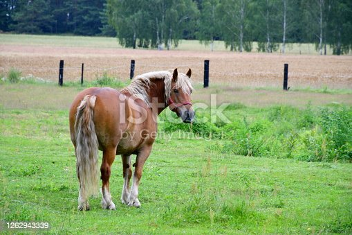 A close up on a brown horse with an ecru mane and tail standing in the middle of a dense field or meadow situated next to yet another pastureland seen on a Polish countryside on a summer day