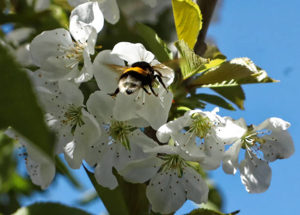Close up on a bumblebee pollinating a cherry tree flower in flight