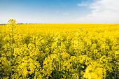 無限菜種フィールドにナタネの花のクローズ アップ。黄色の菜種フィールドと晴れた日の雲と青い空。農業であります。