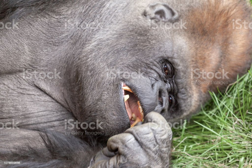 Close up on a gorilla head as he is laying down looking at his hand...
