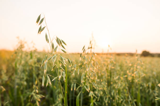 Close up on a green oat ears of wheat growing in the field in sunny day. Agriculture. Nature product. Close up on a green oat ears of wheat growing in the field in sunny day. Agriculture. Nature product oat crop stock pictures, royalty-free photos & images