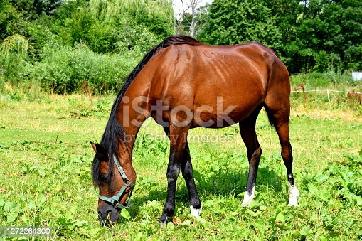 Close up on a majestic brown horse with dark mane and tail grazing in the middle of a paddock, meadow, or a pastureland spotted on a sunny summer day nearby a dense forest or moor in Poland