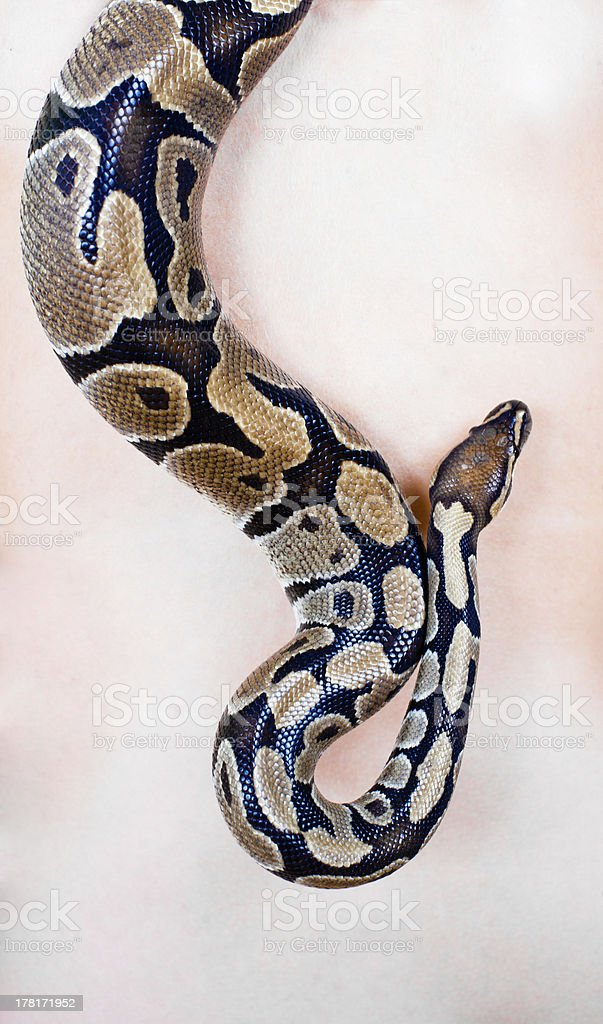 Close up on a Python royalty-free stock photo