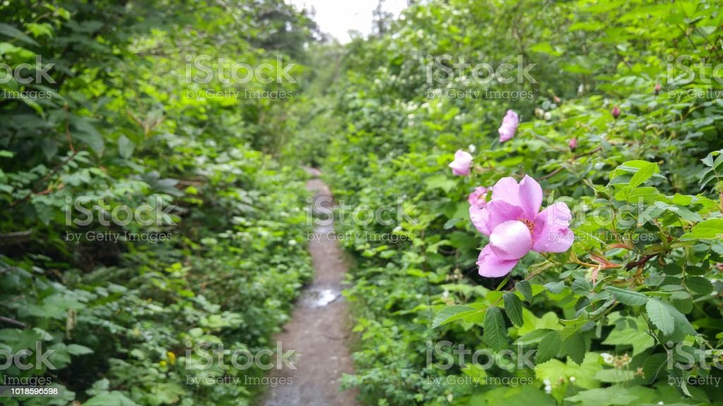 Close up on a rose flower with a narrow trail in the background stock photo