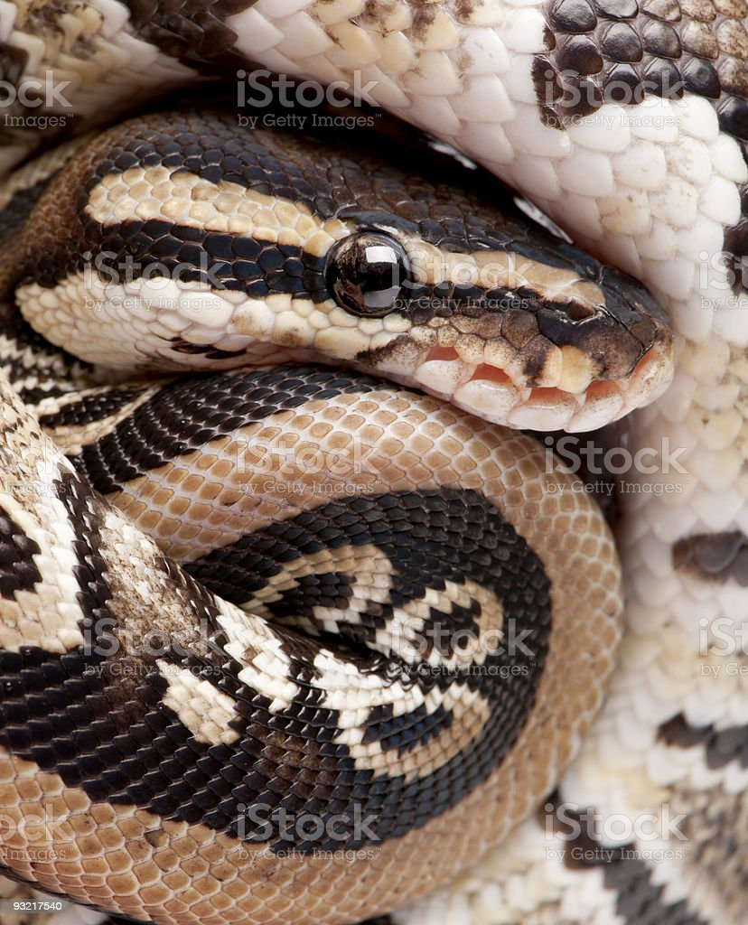 Close up on a Young Python regius (10 months old) royalty-free stock photo
