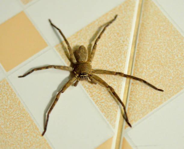 Close-up em uma Aranha-lobo asiática isolada em casa - foto de acervo