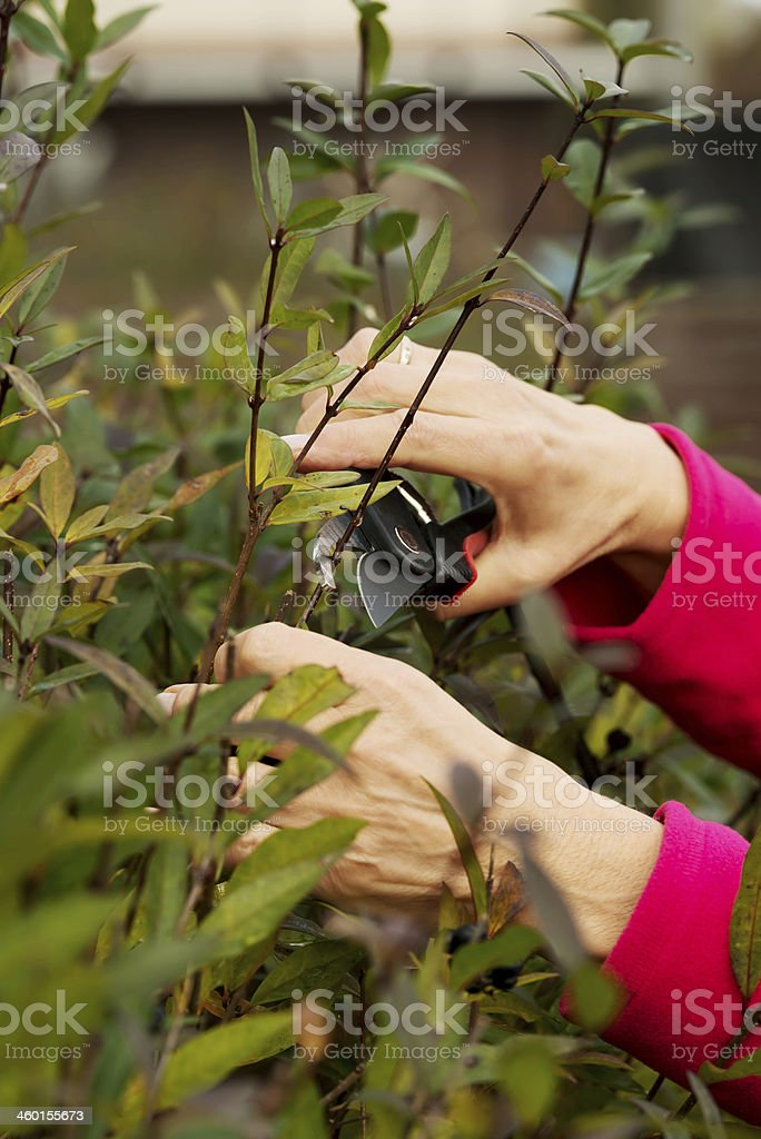Close up on an old lady's hands cutting bushes. stock photo