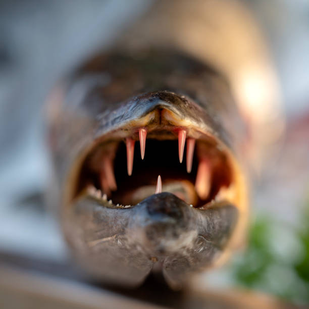 Best Barracuda Face Stock Photos, Pictures & Royalty-Free