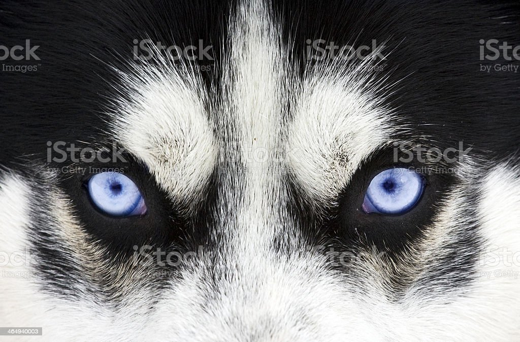 Close up on blue eyes of a dog stock photo