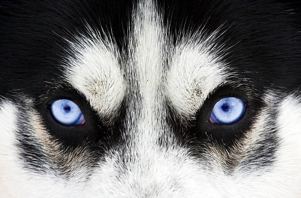 Primo piano in Blu occhi di un cane - foto stock