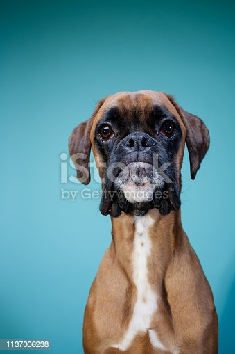 Boxer dog posing in front of camera on blue background.