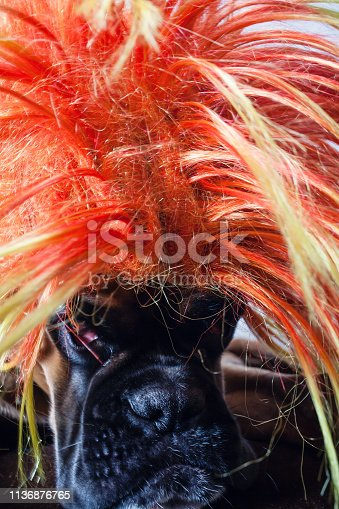 Dog wearing party wig posing in front of camera.