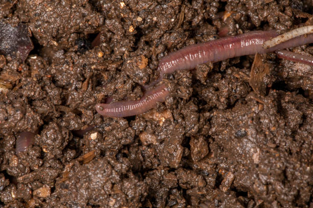 Close up on Californian earthworms, macro photo Close up on Californian earthworms, macro photo. annelid stock pictures, royalty-free photos & images
