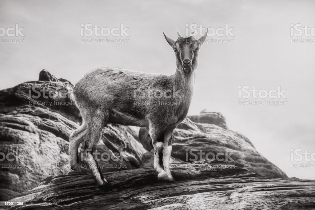 Close up on   Capra sibirica on the rock in the mountain, black and white stock photo