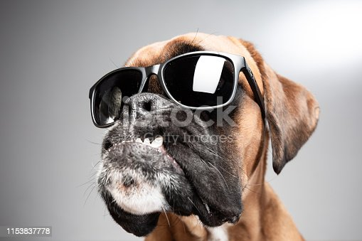 Boxer dog wearing black sunglasses.