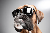 Boxer dog wearing black sunglasses.