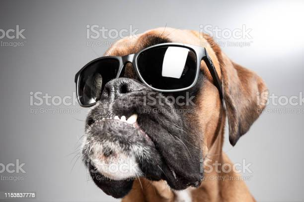 Close up on dogs head with sunglasses showing anger picture id1153837778?b=1&k=6&m=1153837778&s=612x612&h=mz3u1v2kdoqjoxkp wt7egadqtp7oogc4pmdo9mj8wq=