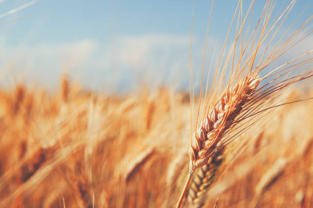 Close up on Ears of Wheat in foreground with barley field stock photo