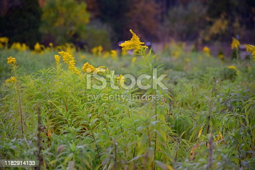 Close up on field full of goldenrods and watermilfoils seen in their blossiming period with yellow flowerlike structures seen on a dense meadow, field, or pastureland in Poland on a cloudy autumn day