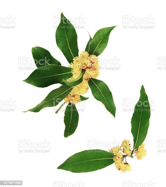 Close up on flowers and bay leaves white background picture id1073621062?b=1&k=6&m=1073621062&s=612x612&h=zjpqwdjul0u0pec7bb6zkwf  ugfxs74rdenpyrj5am=