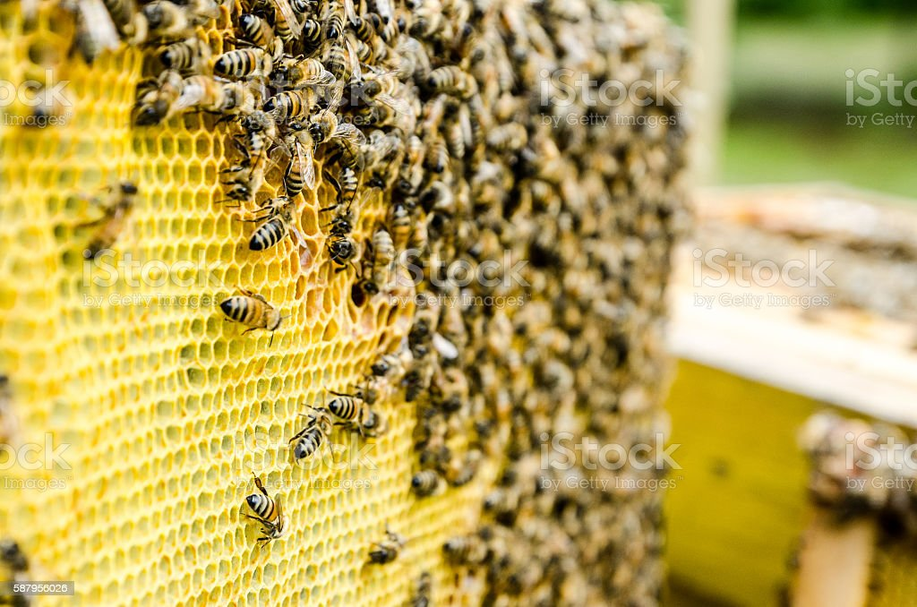 Close up on frame of beehive full of bees stock photo