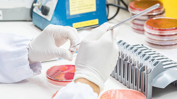 Close up on hand medical technicians working on bacterial cultur stock photo