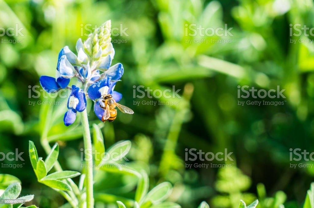 Close up on honey bee feeding on spring time bluebonnets stock photo close up on honey bee feeding on spring time bluebonnets royalty free stock photo mightylinksfo