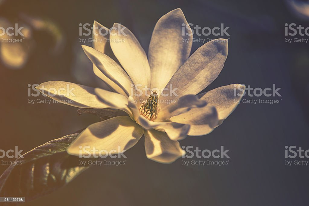 Close up on Magnolia (Magnoliaceae) Gold Star, HDR effect stock photo
