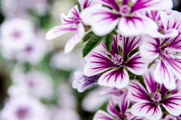 Nahaufnahme auf Malva Syl. 'Zebrina' Blumen – Foto